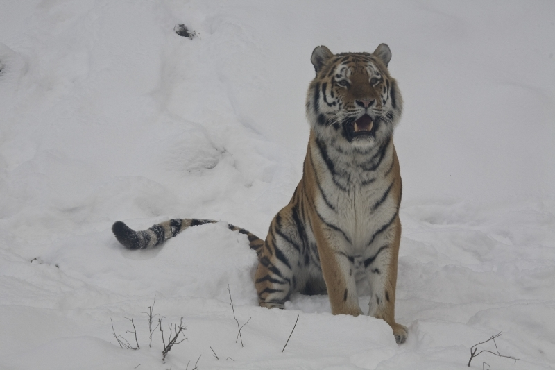 Tiger, Wuppertal Zoo