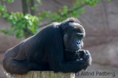 gorilla_3867_web_web