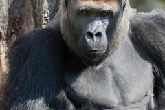 gorilla_3876_web