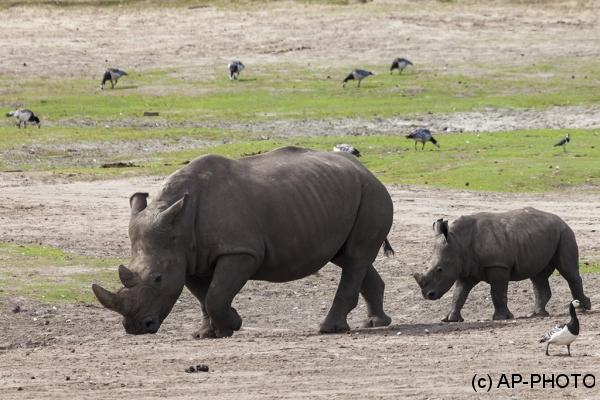 White Rhinoceros; Ceratotherium simum