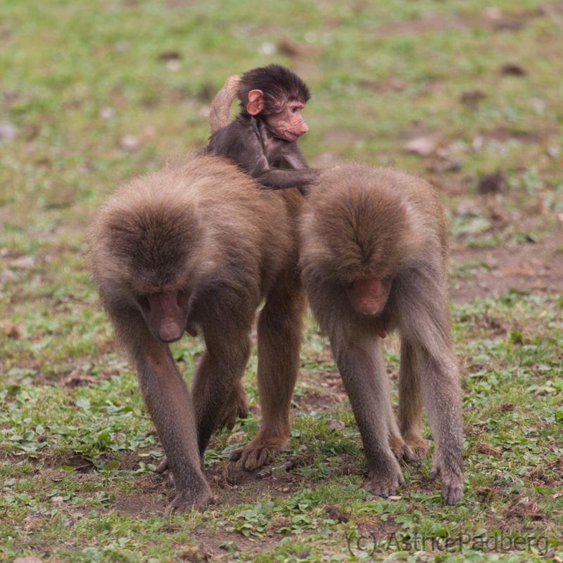 Hamadryas baboon, Osnabrück Zoo