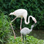 Greater flamingo, Basel Zoo