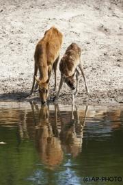 Kobus megaceros; Nile lechwe