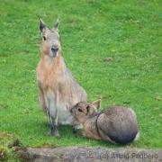 Maras, Wuppertal Zoo