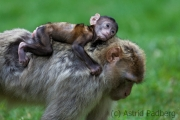 Barbary macaque, Zoo Rheine
