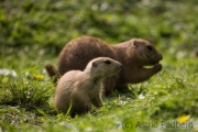 Prairie dogs, Wuppertal Zoo