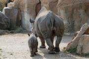 Black rhinoceros, Krefeld Zoo