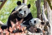 Giant panda (Pairi Daisa (B)