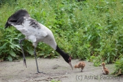 Black-necked crane, Walsrode Vogelpark