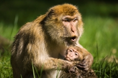 Barbary macaque, Rheine Zoo