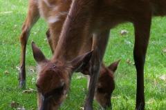 Sitatunga;Tragelaphus spekii;Sumpfantilope