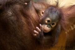Orangutan, Krefeld Zoo