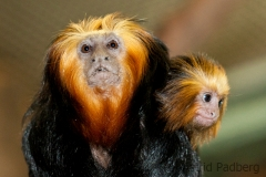 Golden-headed lion tamarin, Wuppertal Zoo