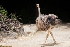 Common ostrich, Basel Zoo