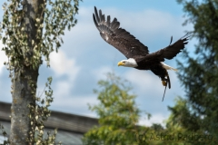 American eagle, bald eagle, Pairi Daisa (B)