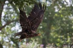 Eagle, Pairi Daisa (B)
