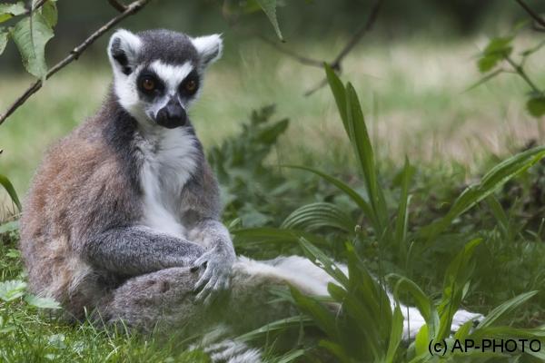 Lemur catta; Ring-tailed lemur