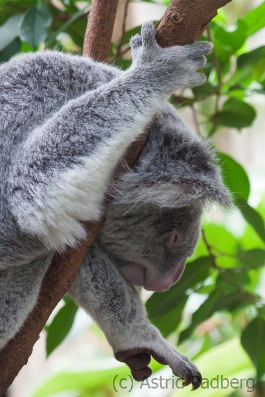 Koala;Phascolarctos cinereus