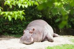 Hippopotamus amphibius, Basel Zoo