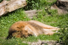 müder Löwe