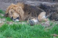 Asiatischer Löwe; Panthera leo persica; Indian Lion