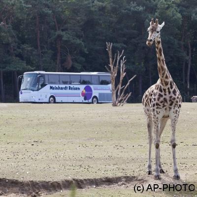 Rothschild's giraffe;Giraffa camelopardalis rothschildi