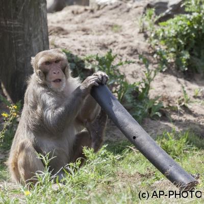 Rhesus macaque; Macaca mulatta