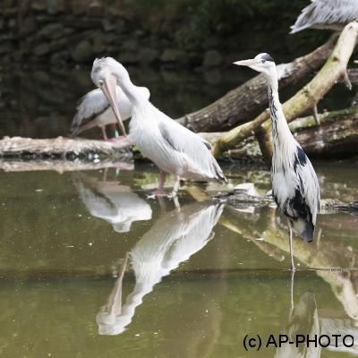Ardea cinerea; Grey heron