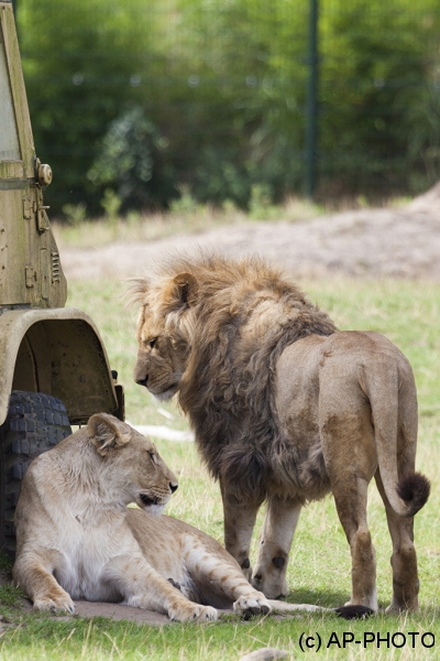 Panthera leo; lions