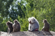 Papio hamadryas; hamadryas baboon