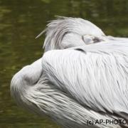 pink-backed pelican;Pelecanus rufescens;Rötelpelikan