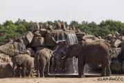 African bush elefants;Loxodonta africana