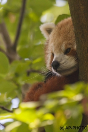 Ailurus fulgens; Roter Panda;Red Panda