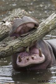 Hippopotamus amphibiu; Hippo