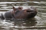 Hippopotamus amphibiu;Hippo