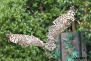 Bubo africanus africanus; spotted eagle-owl