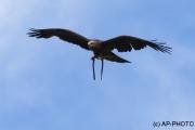 black kite; Milvus migrans migrans