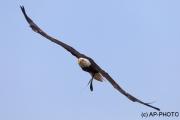 Haliaeetus leucocephalus; bald eagle;american ea
