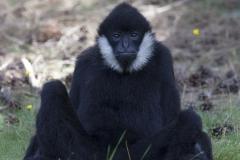 White cheeked gibbon; Nomascus leucogenys