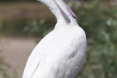 African Spoonbill; Platalea alba