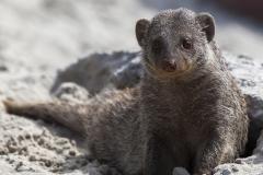Banded Mongoose; Mungos mungo