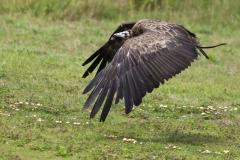 cinereous vultur; Aegypius monachus