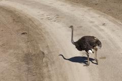 common ostrich;Struthio camelus