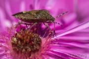 Sloe bug on asteraceae
