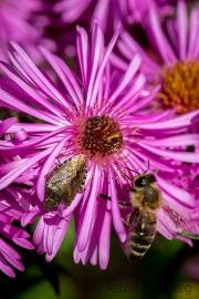 Bee and sloe bug on asteraceae