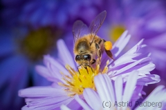 Bee on asteraceae
