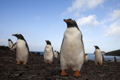 Gentoos, Sanders, Falkland Islands