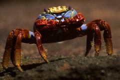 Feeding Sally lightfoot crab; Grapsus grapsus, Galapagos