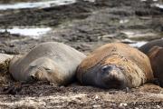 Southern elephant seal, Falkland Islands