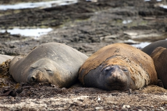 Southern elephant seal, Falkland Islands